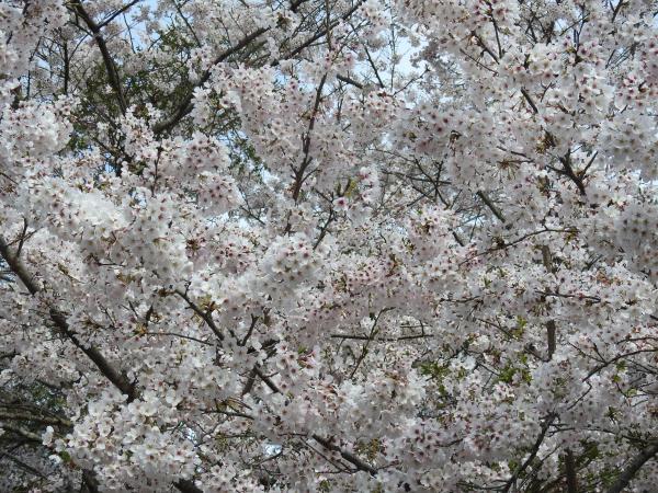 170412霞ケ浦の桜_4