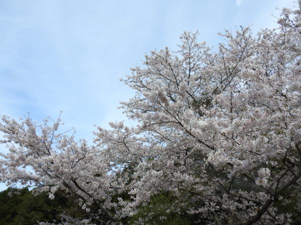 170412霞ケ浦の桜_5