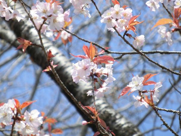 170417 岩瀬の桜続き1