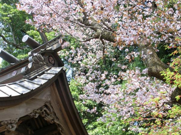 170417 岩瀬の桜続き5