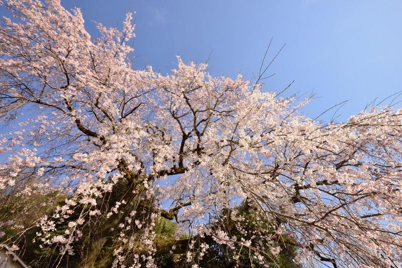 170404大原しだれ桜 (6)