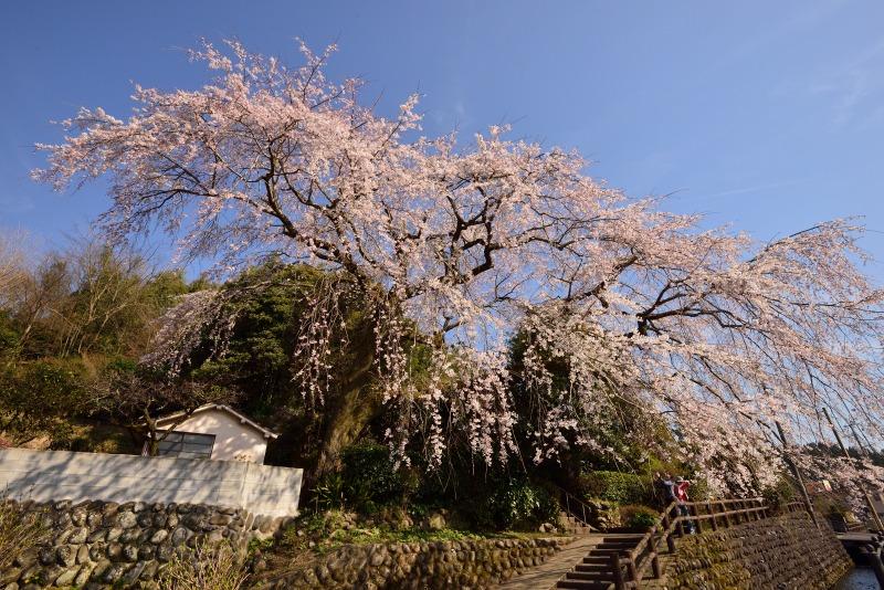 170404大原しだれ桜 (3)