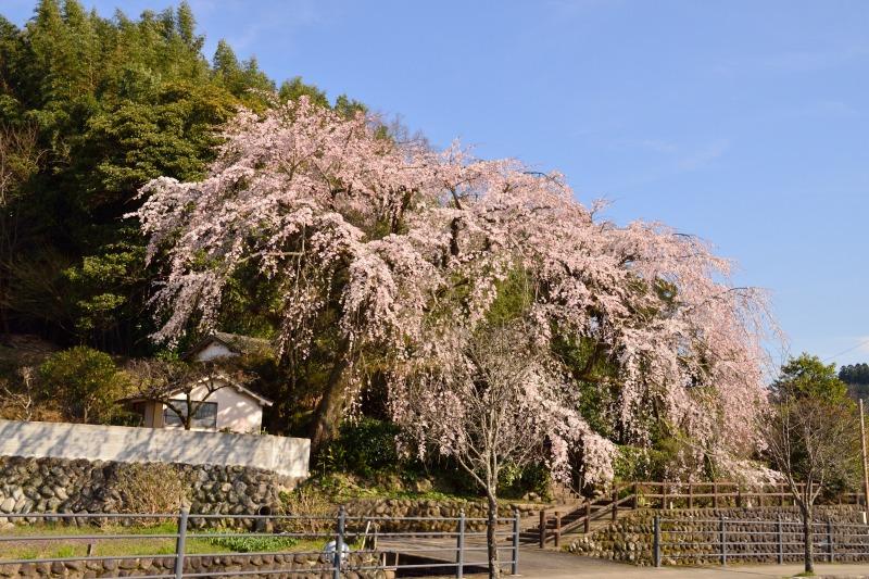 170404大原しだれ桜 (1)