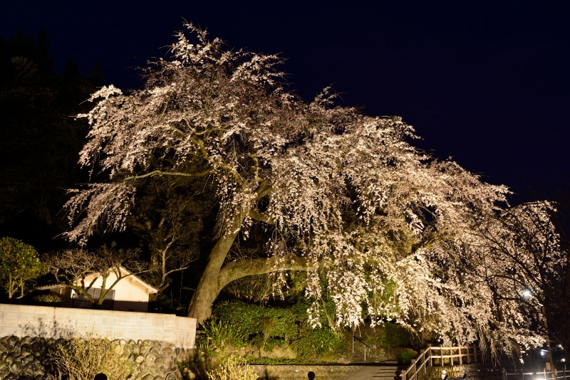170404大原しだれ桜 (12)