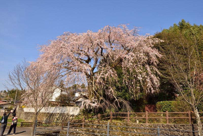 170404大原しだれ桜 (9)
