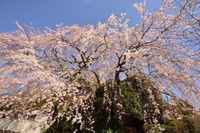 170404大原しだれ桜 (7)