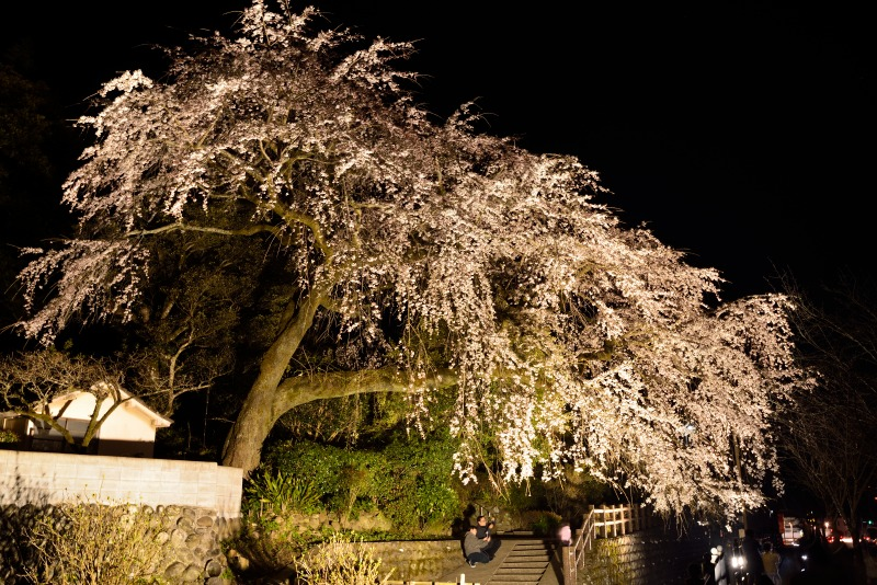 170404大原しだれ桜 (13)
