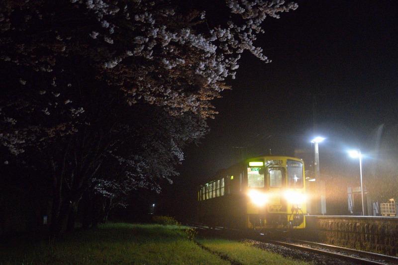 170408宝珠山夜桜 (8)