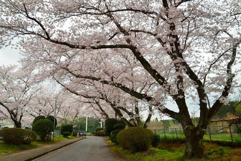 三隈高校の桜 (4)