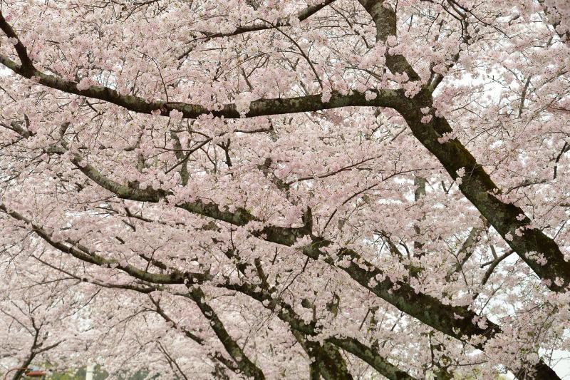 三隈高校の桜 (2)