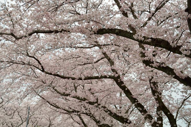 三隈高校の桜 (3)