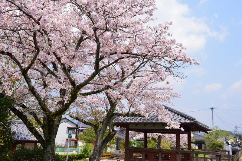 桜・その他 (8)