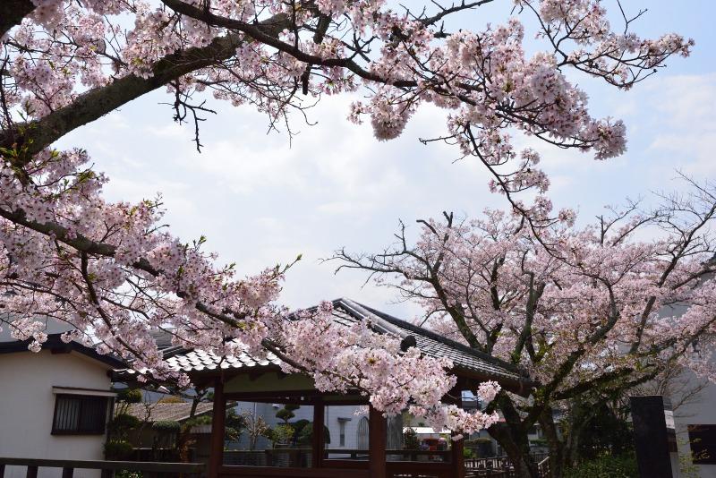 桜・その他 (9)