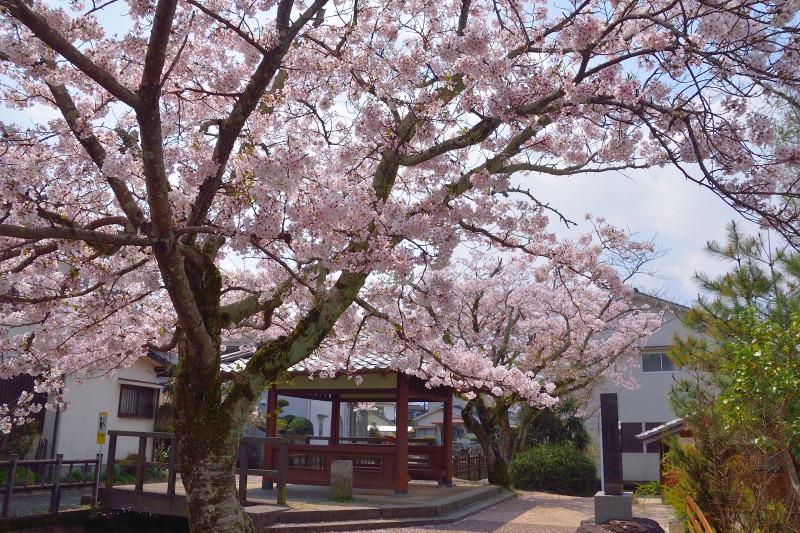 桜・その他 (6)