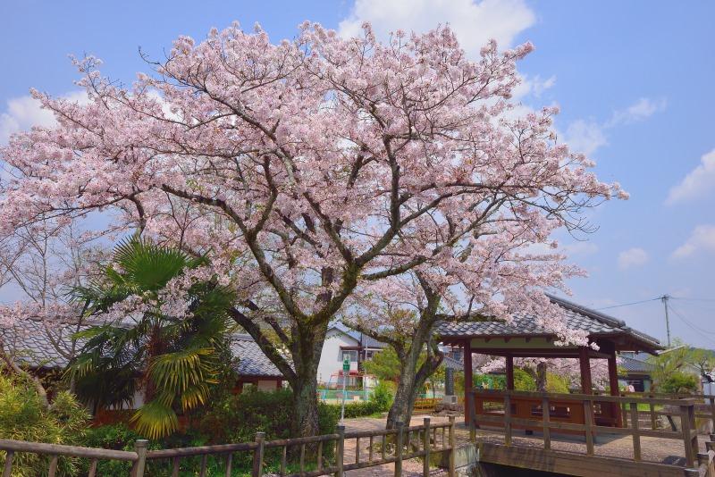 桜・その他 (7)