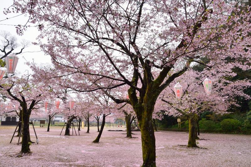 桜・その他 (3)