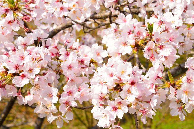 桜・その他 (12)