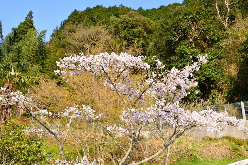 桜・その他 (10)