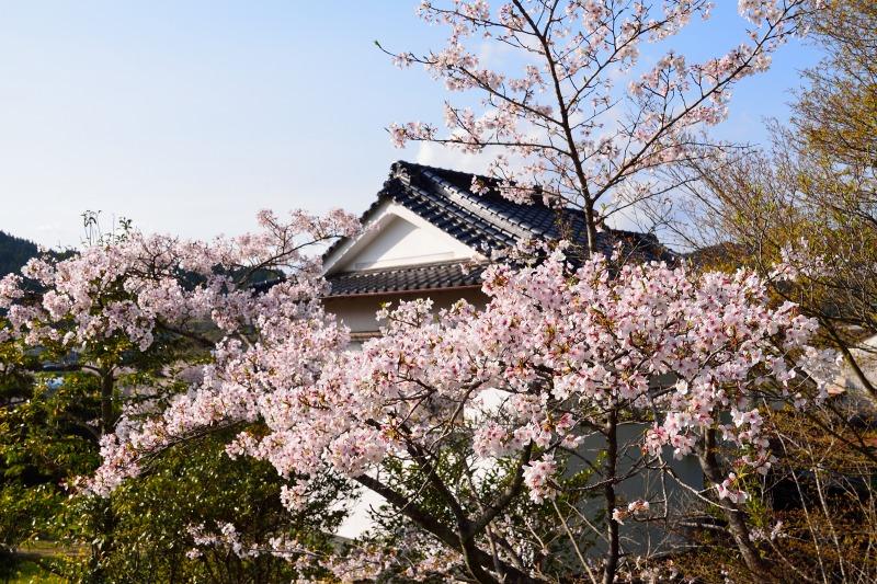 桜・その他 (11)