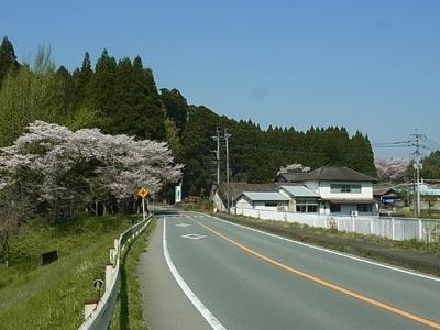 高野桜2017