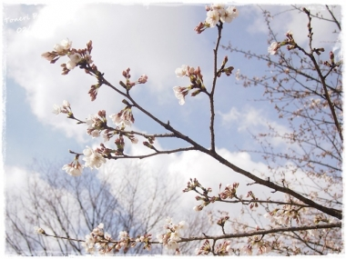 2017桜_--5