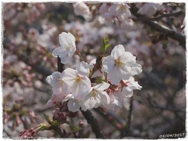 2017桜-----1