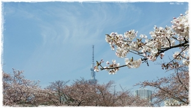 2017桜-----10