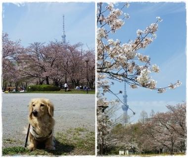 2017桜-----①-horz
