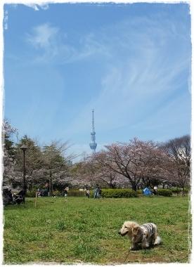 2017桜-----12