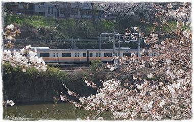 2017桜-----5