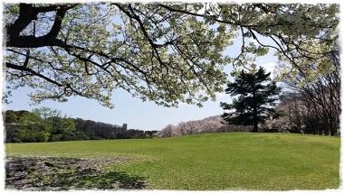 2017Y桜-20