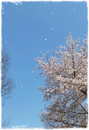 2017桜駒沢-3