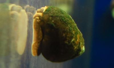 ヒメタニシ