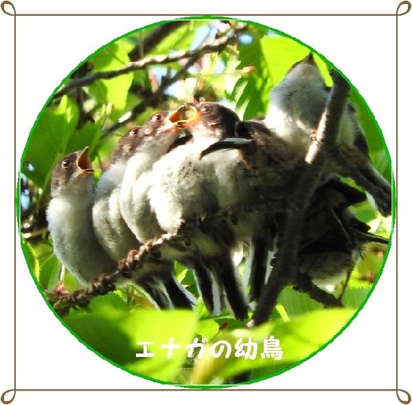 エナガの幼鳥円加工