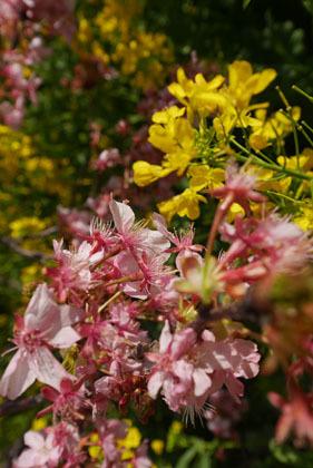 006桜と菜の花