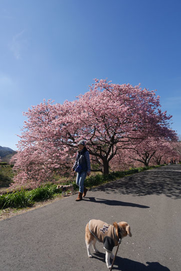 017桜となな