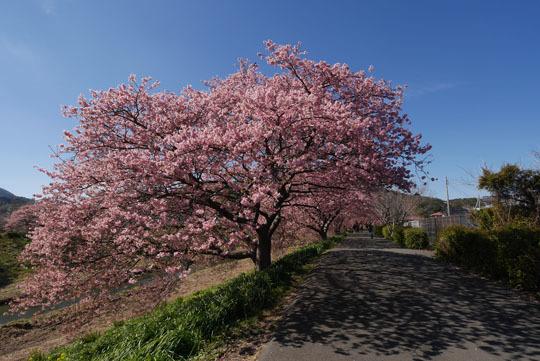 016河津桜