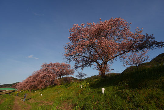 108河津桜