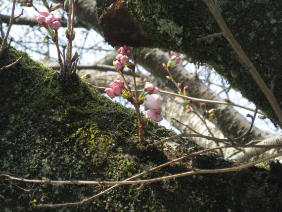 2017-桜01