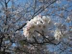 2017-桜06