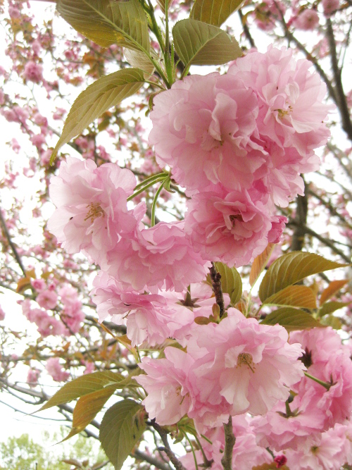 八重桜2017-02