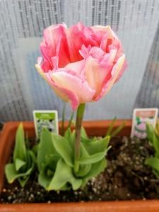 tulip04172