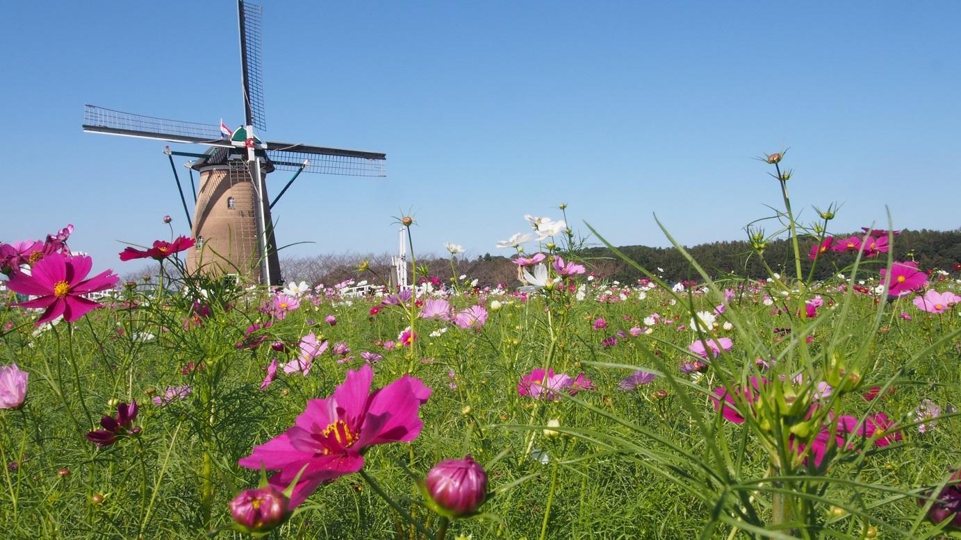 お花畑と風車