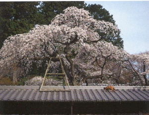 京都猫0_1