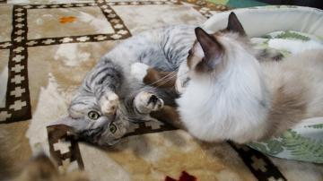 大きめな猫ソファー争奪戦! その6 5