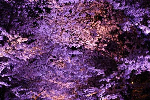 20170415夜桜2