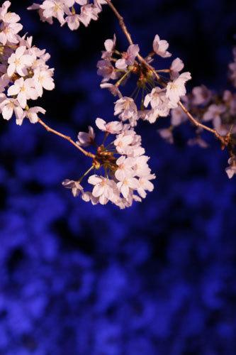 20170415夜桜4