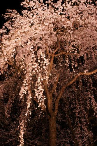 20170415夜桜5