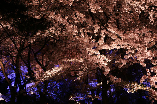 20170415夜桜6