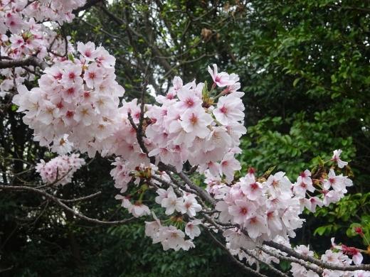 2017.04.09 花見 042
